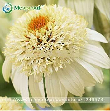Homely Variété 100 graines/sac Graines de chrysanthÚme 'Milkshake' Heirloom Ecea, Graines de fleurs rares pour la maison et le jardin