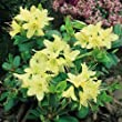 Dwarf Rhododendron Princess Anne AGM grown in 9 cm pot Superb compact dwarf with small clear yellow flowers tinged green shrubs evergreen