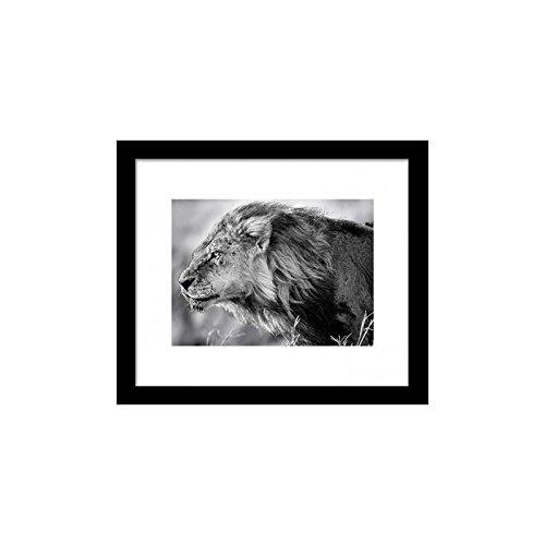 Image Encadrée Lion B&W 33cx28 cm