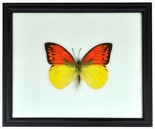 Schmetterling im Bilderrahmen,Great Yellow Orange Tip