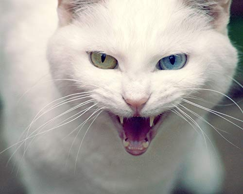 ADVLOOK Juegos De Pintura Gato De Angora Turco Enojado