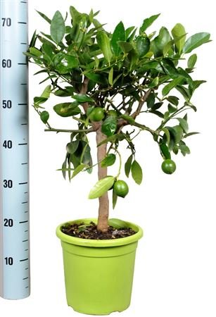 beautiful-citrus-lime-tree-ideal-gift-citrus-fragrance-and-small-fruits-lemon-tree-presents-gift-wra
