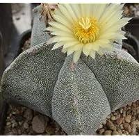 Astrophytum myriostigma seeds