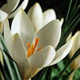 Humphreys Garden Crocus Species Miss Vain x 30 Bulbs Bulbes
