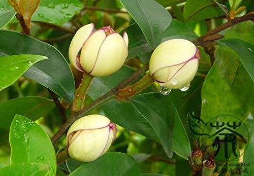 Shopmeeko ^ Magnolia Pflanze Ornamental Figo^ 60pcs / Lot, Bananensträucher Michelia Figo Arbusto ^, Hoch bepflanzt Vino Porto Magnolia ^^^^^^^