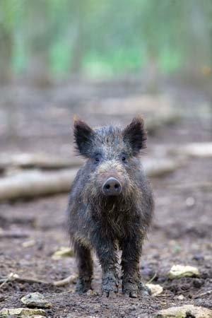 wildschwein-jagd-grusskarte-unlinierte-von-charles-sainsbury-schollen