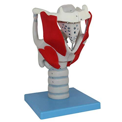 LUCKFY Wissenschaftliche menschliche Anatomie - Laryngeal Struktur Funktion Modell Tracheal Modell - Medizinische pädagogische Ausbildung Hilfe Lehrwerkzeug Spielzeug - Kehle Kit