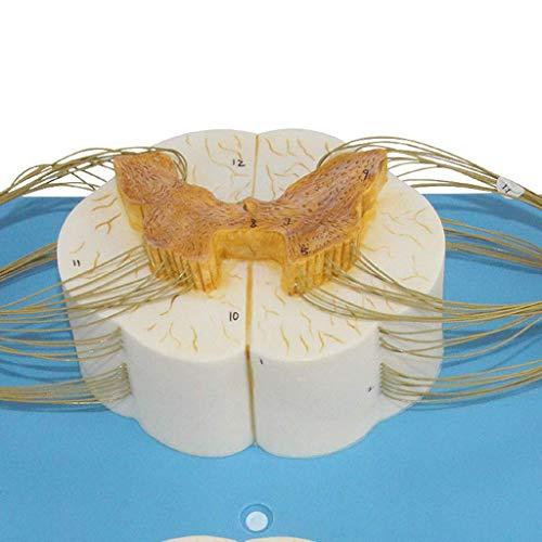 Nervensystemmodell - Rückenmark- und Spinalnervenzweigmodell Querschnitt des Rückenmarks - Dreidimensionale Morphologie des Rückenmarksnervs - medizinisches Modell des anatomischen Nervensystems