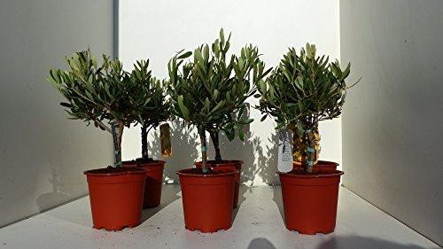 Olivenbaum uriges Bonsai Stämmchen Olive 40 - 50 cm Olea Europaea Stamm Olive