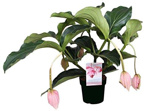 FloraStore - Medinilla Magnifica mit 5 Tasten (1x), Höhe 55 CM, Topf 17 CM, Zimmerpflanze