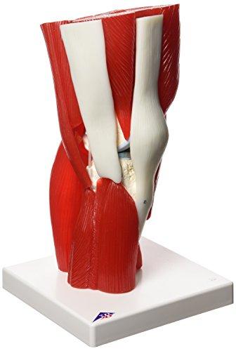 3B Scientific Menschliche Anatomie - Kniegelenkmodell, 12-teilig