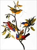Posterlounge Acrylglasbild 120 x 160 cm: Audubon: Bunting, 1827. von John James Audubon/Granger Collection - Wandbild, Acryl Glasbild, Druck auf Acryl Glas Bild