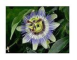 1x Passiflora Edulis -Pflanze Topf Garten Blume K-P21