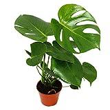 Monstera deliciosa - window leaf - 12cm pot - about 30-35cm high
