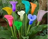 Colorful Calla seme raro Semi Piante Fiori (non Calla Bulbi) -20 Semi Promozioni Bonsai