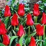 HomeAndGarden.UK Pack de 25 Rouge Tulipe chaperon rocaille Miniature Fleurissent au printemps