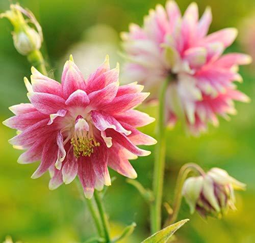 Semillas de Columbine Nora Barlow - Aquilegia vulgaris fl.pl. - 350 semillas
