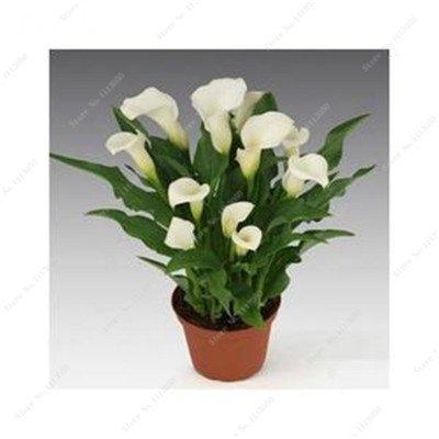 100 Pcs Rare Calla Lily Graine Plante en pot Fleurs absorption de rayonnement de mariage de plantes ornementales Bonsai médicinales Facile à cultiver 15