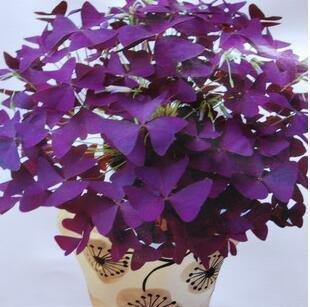 100 Oxalis Red Oxalis Fleur Oxalis pourpre Trèfle 100% graines de bonsaï Real fleurs en plein air vivaces pour le jardin de la maison 3