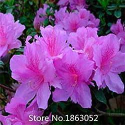 Vista 100 stücke authentische Rhododendron simsii samen blumensamen seltene pflanzen, Bonsai organische samen Blumensamen Freies Verschiffen