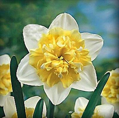 GEOPONICS SEEDS: ZLKING 100 Pcs Schöne Narzisseblume Balkonpflanzen Narzisse Absorption Narcissus Tazetta Bonsai: 3