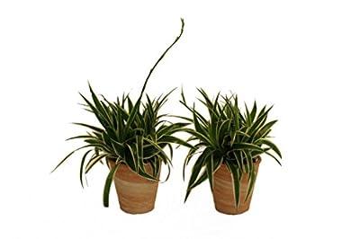 Pflanzenservice 891784 grünlilie Ocean, 2 Pflanzen, Dekotopf, terrakotta von Amazon.de Pflanzenservice - Du und dein Garten