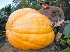 20Pcs Super großer Kürbis-Samen Gemüse NON-GMO Essbare DIY Garten zu Hause Bonsai Riesenkürbiskern Geschenk für Halloween-Spaß Pflanzen (Halloween-spaß Zu Hause)