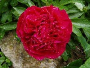 Pfingstrose Karl Rosenfield - Paeonia lactiflora Karl Rosenfield - Beetstaude von Staudengärtnerei bei Du und dein Garten