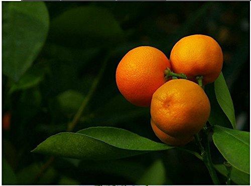 30 semi BONSAI piccola arancia DOLCE bello della frutta SEMI