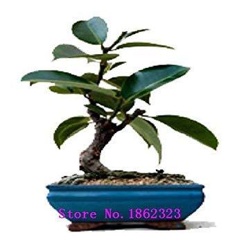 50pcs Véritable rares graines Ficus Ginseng graines Ginseng Herbes Banyan graines d'arbres Livraison gratuite
