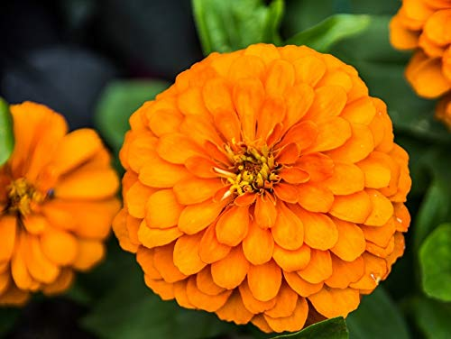 "Dahlienblüher Zinnie""Orys"" - Orange"