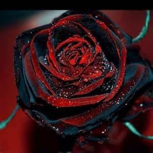 50 Graines Rose Noire - avec bord rouge, couleur rare, jardin de fleurs vivaces populaires Semences Bush ou Bonsai Fleur 1