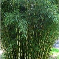 Suchergebnis Auf Amazon De Fur Bambus Winterhart Garten