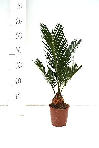 Cycas revoluta - Japanische Kogelpalme - Gesamthöhe 40-50cm Topf Ø 11cm