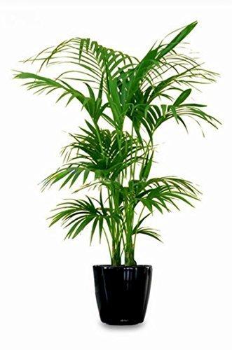 Kentia Palme Howea Forsteriana wunderschöne Zimmerpflanze sehr pflegeleicht 130-150cm Pot Ø 22 cm