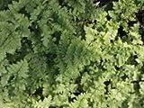 Breitwedeldornfarn Großer Farn mit feingeliederten Blättern von Native Plants