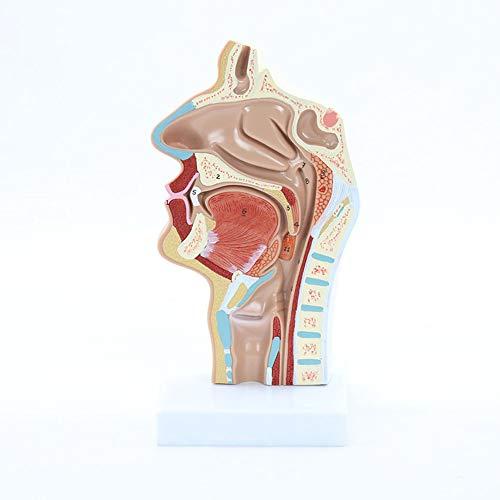 Hals Anatomisches Modell, Zeigt die Innere Struktur Der Mundhöhle Und des Rachens Unter Dem Trigeminus-Nervennetz, für Medizinische Forschung Und Lehre