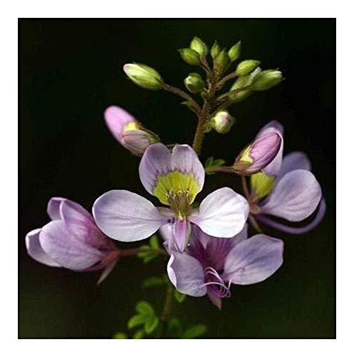 Shop Meeko Cleome oxyphylla var Robusta - Pea Bush - 10 Samen -