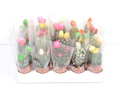 small-cactus-mix-gift-forever-flowers-colour-range-of-flower-blooms-variety-of-cactus-types-ideal-gi