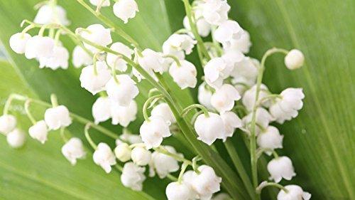 100 graines d'orchidées cloche graines de fleurs belles graines pour la décoration de la maison