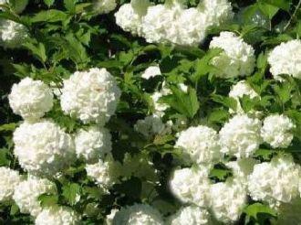Gefüllter Schneeball 'Roseum' - Viburnum opulus 'Roseum' 60-100 cm, von Gartengruen24 - Du und dein Garten