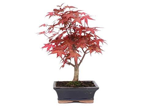 Bonsái 7 años Acer palmatum deshojo
