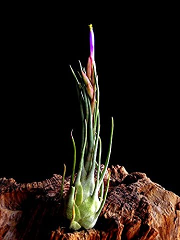 Sehr Seltene XL Regenwald Tillandsien Tillandsia arizae juliae 1x Pflanze aus Deutscher Zucht
