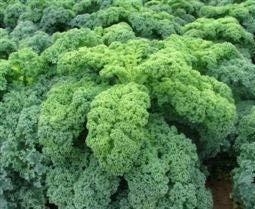 Seekay Berza ' Kadet ' ( Kale ) Aprox 100 Semillas - Vegetal - Verduras - Semillas