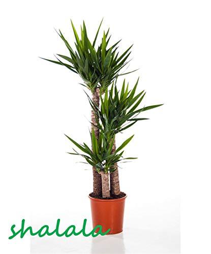 ferry 50 pezzi yucca bonsai piante in vaso al coperto vaso bonsai alta germinazione alto-garde bonsai evergreen anti-radiazioni: 6