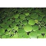 Mühlan Aquatic Plants Lot de 10 Limnobium laevigatum Grenouillette