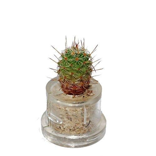 Mini-plante Alia - MiniCACTUS®