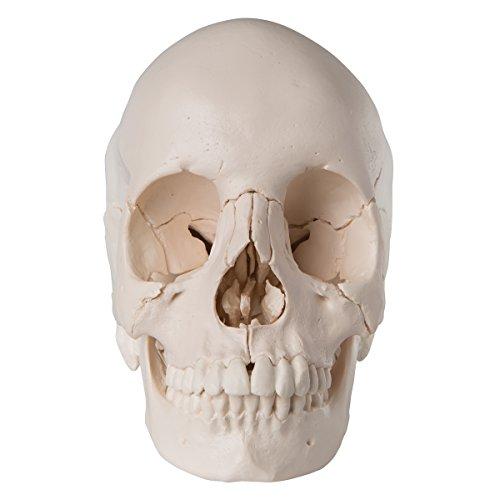 Zoom IMG-1 3b scientific a290 cranio scomponibile