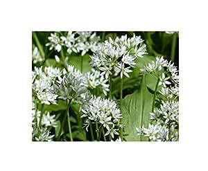 10x Allium ursinum Samen Bärlauch Blüten weiß Knoblauchgeruch B1895