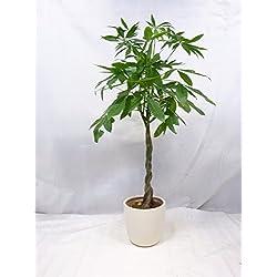 Pachira aquatica 150 cm - Glückskastanie / Zimmerpflanze
